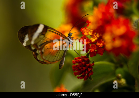 Glasswing butterfly (Greta oto), Jardin de Mariposas, Monteverde Butterfly Gardens, Monteverde, Costa Rica. - Stock Photo