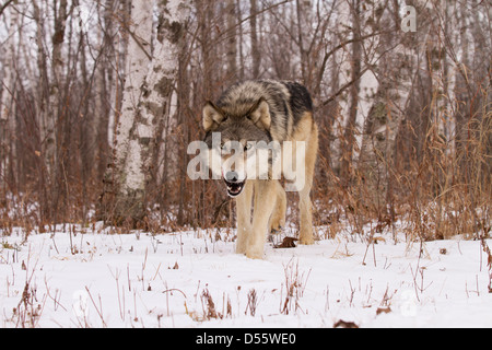 Gray Wolf, Canis lupus hunting in the woods - Stock Photo