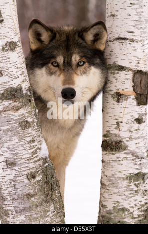 Gray Wolf, Canis lupus standing between the trees - Stock Photo