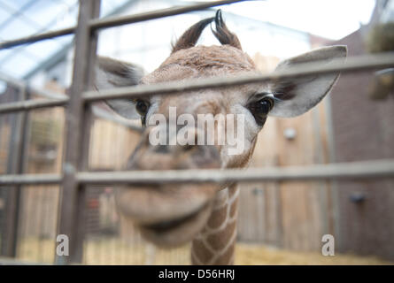 Dortmund, Germany. 26th March 2013.  A baby giraffe looks into the camera at an enclosure of the zoo in Dortmund. - Stock Photo