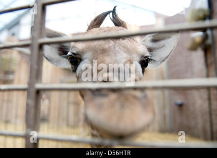Dortmund, Germany. 26th March 2013. A baby giraffe looks into the camera at an enclosure of the zoo in Dortmund, - Stock Photo