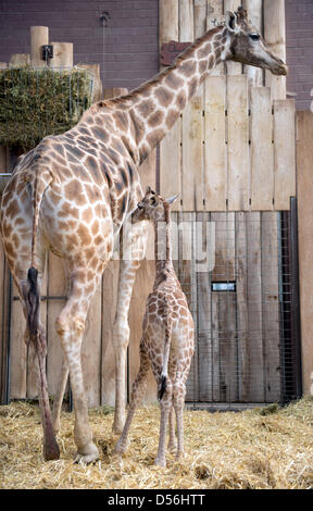 Dortmund, Germany. 26th March 2013. Mother Gambela stands next to her baby giraffe at an enclosure of the zoo in - Stock Photo
