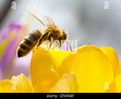 A honey bee collects pollen in Frankfurt Main, Germany, 17 March 2010. Animals start collecting food for their offspring - Stock Photo