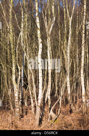 Dense growth of Betula pendula silver birch trees in woodland, Suffolk, England - Stock Photo