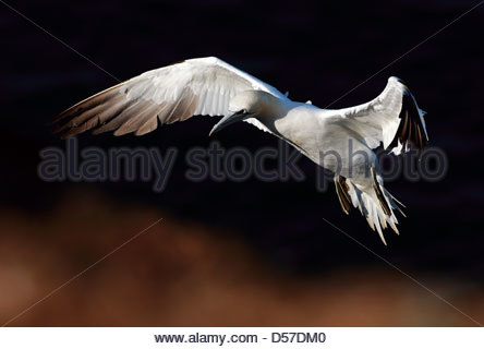 Northern Gannet in flight - Stock Photo