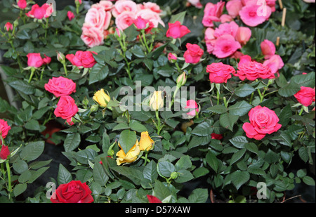 roses with petals multicolor for sale in a greenhouse of a florist - Stock Photo
