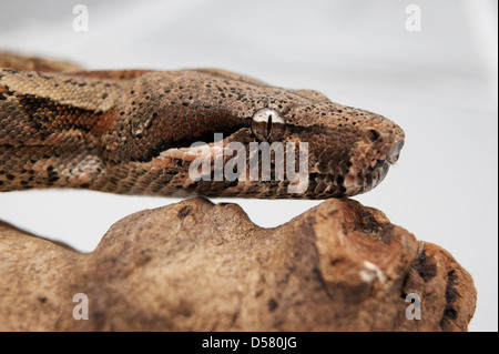 hog island cross boa on a log - Stock Photo