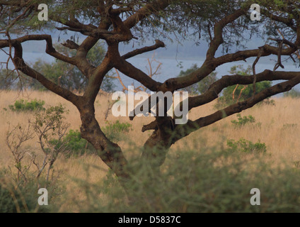 Adult female leopard (Panthera pardus) with sub-adult cub in tree - Stock Photo