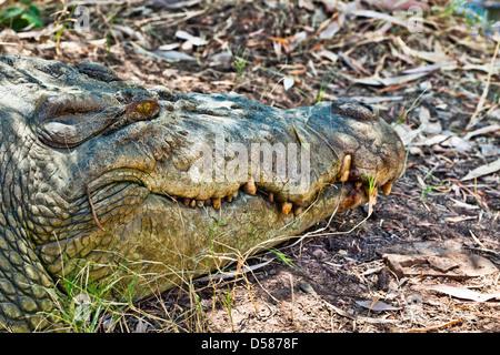 saltwater crocodile portrait, Australia, Western Australia, Wyndham, crocodile farm - Stock Photo
