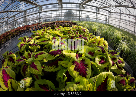 A variegated Coleus plant cultivation (Solenostemon scutellarioides), in the Vichy horticultural production Centre - Stock Photo
