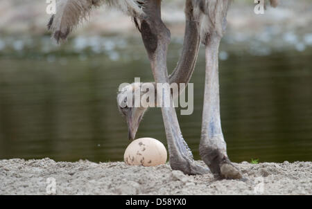 Female ostrich Hedwig watches her new egg in the enclosure in the Allwetterzoo ('All weather zoo') in Muenster, - Stock Photo