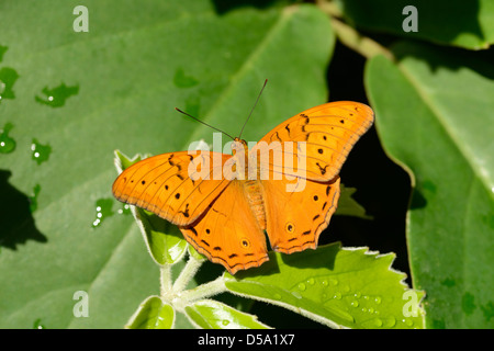 The Cruiser Butterfly (Vindula arsinoe) male at rest, Queensland, Australia, November - Stock Photo