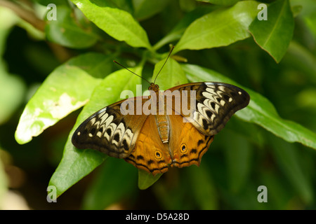The Cruiser Butterfly (Vindula arsinoe) female at rest on leaf, Queensland, Australia, November - Stock Photo