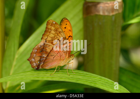 The Cruiser Butterfly (Vindula arsinoe) male at rest showing underside of wings, Queensland, Australia, November - Stock Photo