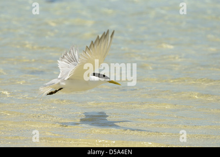 Greater Crested or Swift Tern (Thalasseus bergii) in flight over the sea, Queensland, Australia, November - Stock Photo