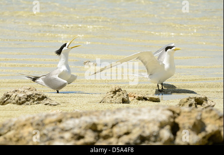 Greater Crested or Swift Tern (Thalasseus bergii) pair standing on the beach, courtship display, Queensland, Australia - Stock Photo