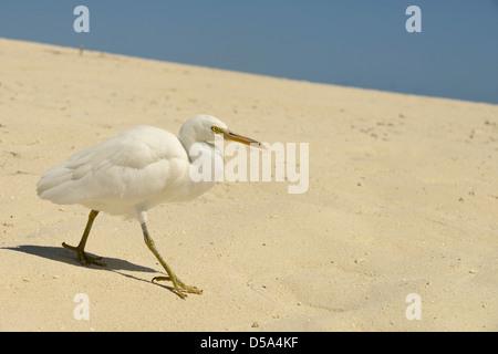 Eastern or Pacific Reef Egret (Egretta sacra) white form, walking on sandy beach, Queensland, Australia, November - Stock Photo