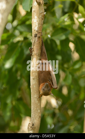 Little Red Flying Fox Bat (Pteropus scapulatus) hanging from tree branch in daytime roost, Queensland, Australia, - Stock Photo