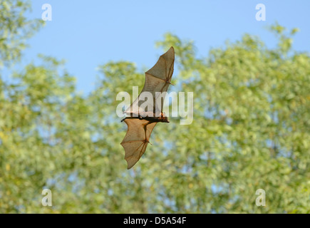 Little Red Flying Fox Bat (Pteropus scapulatus) in flight during the day, Queensland, Australia, November - Stock Photo