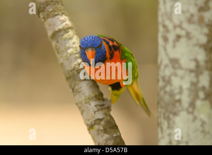 Red-collared Lorikeet (Trichoglossus rubritorquis) perched on tree branch, Queensland, Australia November - Stock Photo