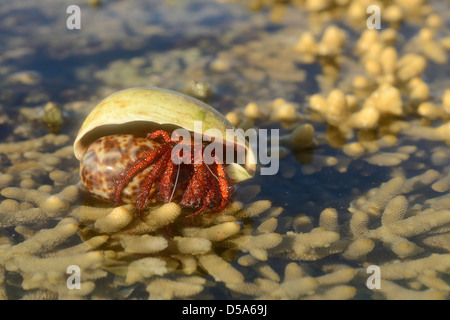 White-spotted Hermit Crab (Dardanus megistos) resting on coral at low tide, Queensland, Australia, November - Stock Photo
