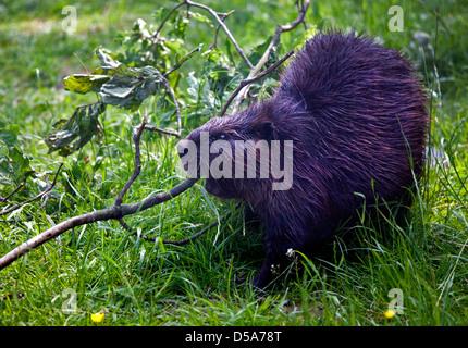 European Beaver (castor fiber) chewing branch - Stock Photo