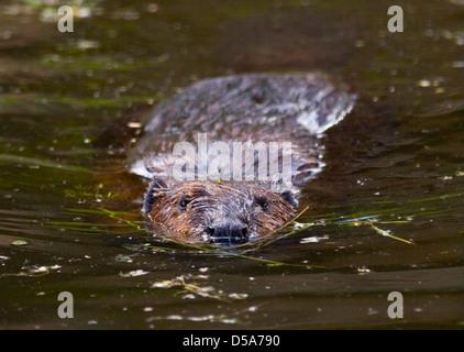 European Beaver (castor fiber) swimming - Stock Photo