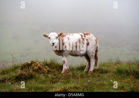 Sheep in Snowdon