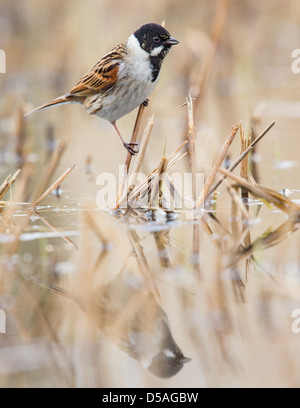 Close-up of a male reed bunting (Emberiza schoeniclus), Rainham marshes, England - Stock Photo