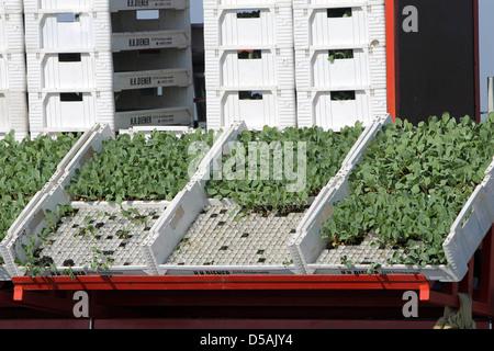 Wesselburenerkoog, Germany, Kohlaussat: seedlings in boxes - Stock Photo