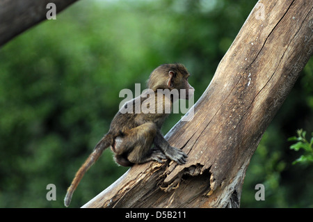 Juvenile Olive Baboon (Papio anubis), also called the Anubis Baboon photographed in Africa, Tanzania, Serengeti - Stock Photo