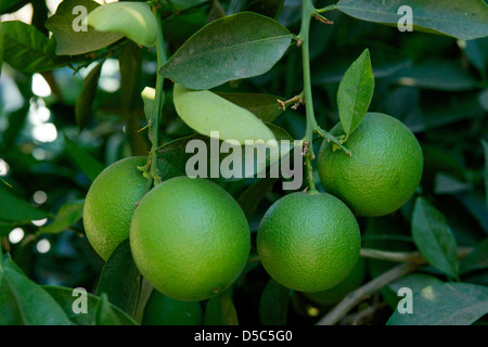 Close up of unripened Oranges growing on a tree. - Stock Photo