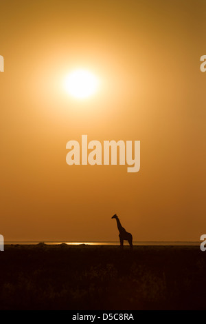 Silhouette of a giraffe in profile against orange sky and afternoon sun on the plains of Etosha National Park, Namibia. - Stock Photo