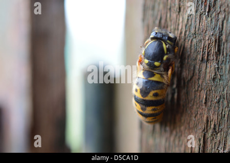Wasp on wooden shed door frame. - Stock Photo