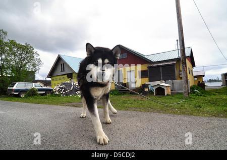 Dog in front of house, Kake, Alaska. - Stock Photo
