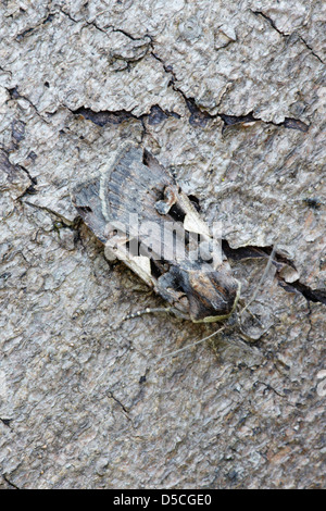 Setaceous Hebrew Character (Xestia c-nigrum) moth on tree trunk - Stock Photo