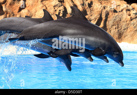 Puerto de la Cruz, Spain, dolphin show at Loro Park, their Kunststuecke - Stock Photo