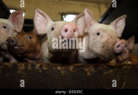 Resplendent village, Germany, Biofleischproduktion, Piglet look curiously at the viewer - Stock Photo