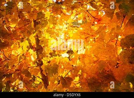 Wall of yellow leaves as vintage background wallpaper - Stock Photo