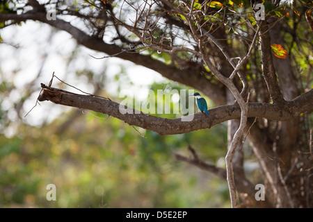 Collared Kingfisher (Todiramphus chloris palmeri), Collared group, on a tree in Bali, Indonesia. - Stock Photo