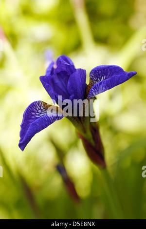 Close-up of iris sibirica, the Siberian Iris or Siberian flag - Stock Photo