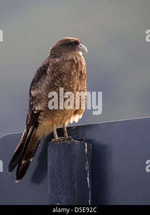 A Chimango Caracara Milvago chimango) sits on a sign. Tierra del Fuego National Park, - Stock Photo