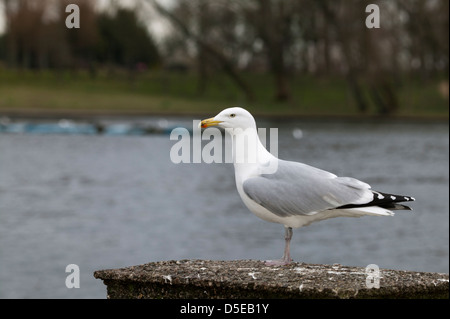 European Herring Gull Larus argentatus perched on a post with a lake in the background - Stock Photo