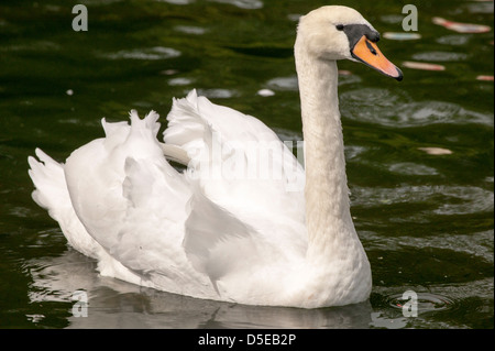 Mute Swan Cygnus olor  floating around looking regal on the lake. - Stock Photo