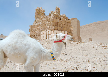 White young camel (Camelus dromedarius) near Tower Valley of Tombs Palmyra, Syria - Stock Photo