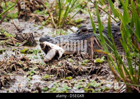 American Alligator eating Turtle - Green Cay Wetlands - Boynton Beach, Florida USA - Stock Photo