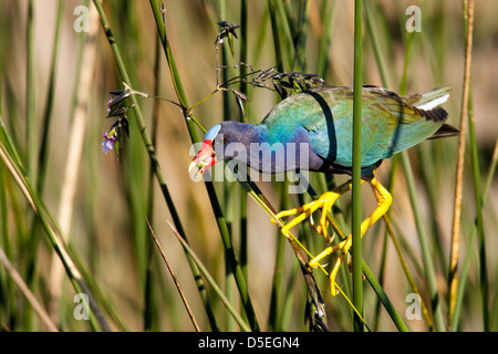Purple Gallinule - Green Cay Wetlands - Boynton Beach, Florida USA - Stock Photo