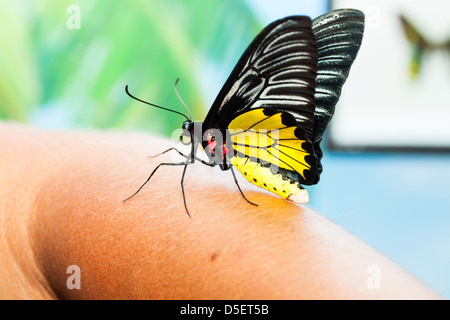Big tropical butterfly - Stock Photo