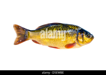 fish crucian carp (Carassius carassius) isolated on white background - Stock Photo