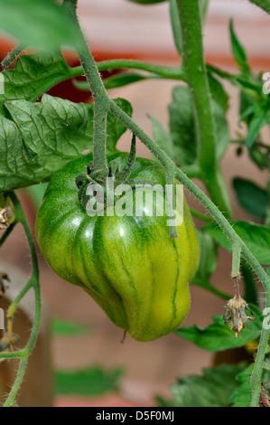 Close-up of Green Organic Marmande Tomato (Solanum Lycopersicum) growing on vine in garden - Stock Photo